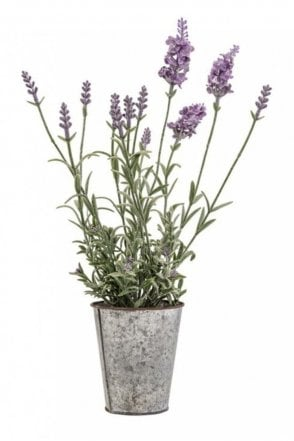 Lavender In Steel Pot
